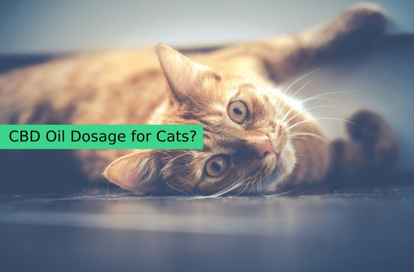 Dosage Of CBD Oil For Cats